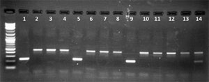 Mycoplasmen PCR Gel